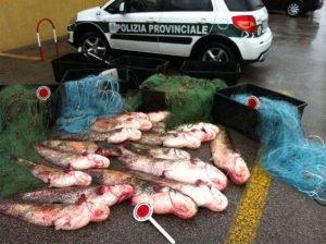 pesca abusiva siluri