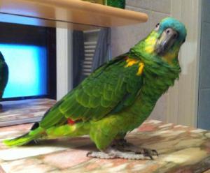 pappagallo villadose