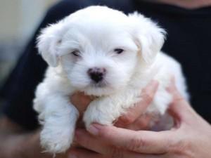 cucciolo-maltese