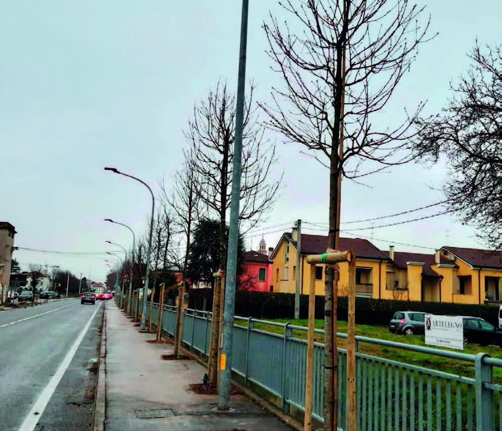 Nuovi alberi a Camposampiero