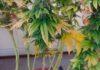 cannabis sativa in vaso