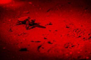 Tartaruga marina Caretta caretta